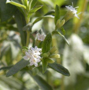 Цвят на Stevia rebaudiana